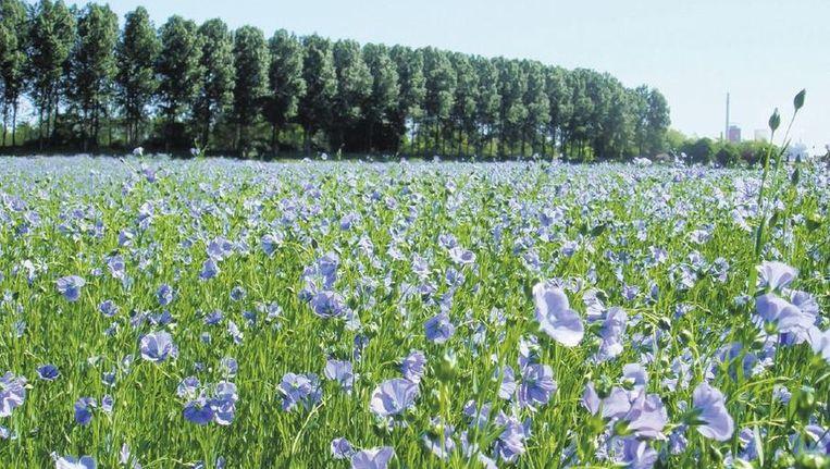 Een veld vol vlas in Noord-Brabant.