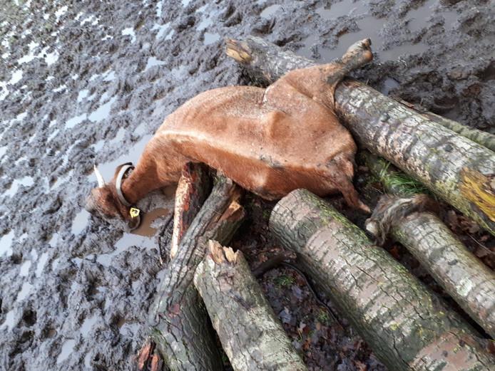 Eén van de dode koeien in het weiland van de Winterswijkse boer.