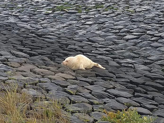 Vandaag is er een albinozeehond bij Ecomare gebracht.