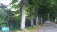 """Brasschaat 2012 gekant tegen bomenkap Berrélei: """"Gemeente moet bomen meer sparen"""""""