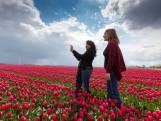 Snel naar onze tulpenvelden! Ze zijn deze week het mooist
