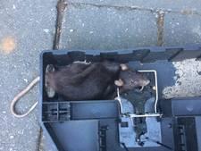 Rattenjacht in Ede-Zuid om erger te voorkomen