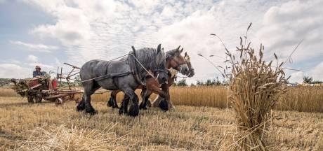 Trekpaarden stelen de show op historische oogstdemonstratie