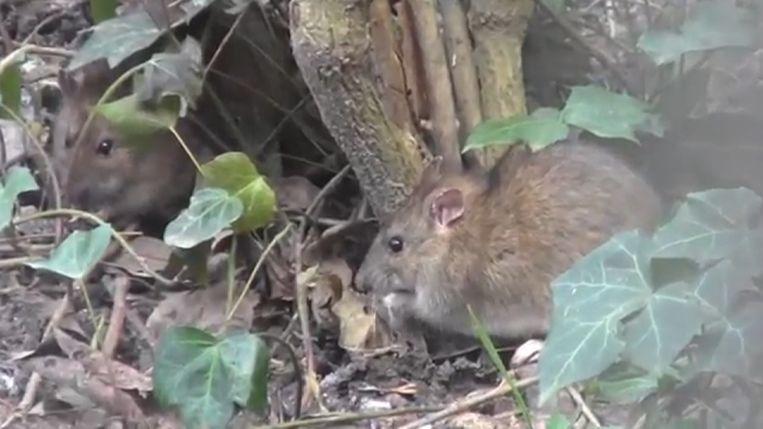 Muizen - en rattenplaag