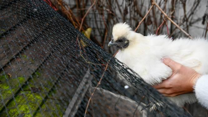 Politie sensibiliseert eigenaars loslopende kippen