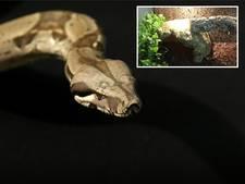 Boa constrictor 'Spike' ontsnapt uit terrarium in Duiven