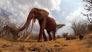 Fotograaf maakte laatste beelden van 60 jaar oude 'koningin der olifanten' met enorme slagtanden