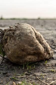 Strijd tegen het vergelingsvirus: suikerbietentelers moeten plantenresten vernietigen