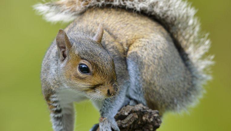 De grijze eekhoorn komt oorspronkelijk uit Noord-Amerika. Maar inmiddels scharrelen er naar schatting 2,5 miljoen rond in het Verenigd Koninkrijk. Beeld Science Photo Library