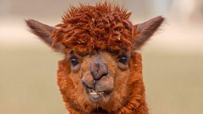 Alpaca wandelt Franse brillenzaak binnen