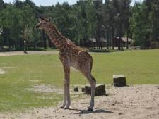 Girafje geboren in safaripark Beekse Bergen in Hilvarenbeek