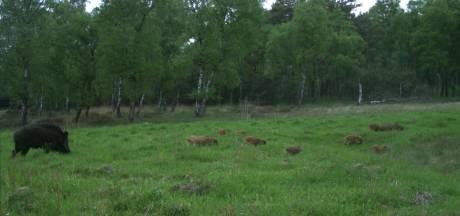 Drie zwijnen en edelhert doodgereden in één nacht: 'Pas uw snelheid aan'