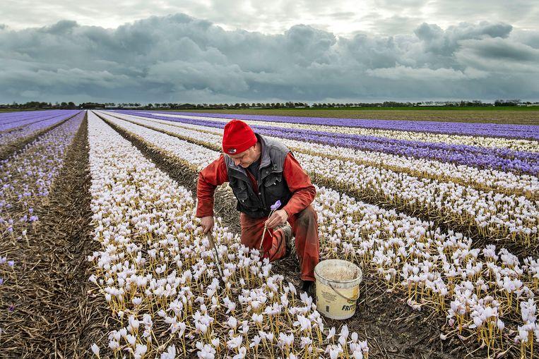 Bollenkweker Joost Pennings aan het werk op een van zijn velden. Beeld Guus Dubbelman / de Volkskrant