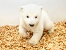 Het is een meisje! Elf weken oud ijsbeertje laat zich zien in Berlijnse zoo