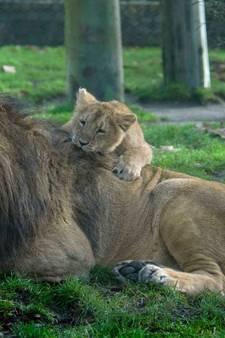 Aandoenlijke plaatjes uit Blijdorp: papa Aapel speelt met leeuwenwelpjes