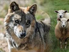 Wolvin Naya beet in België schapen dood