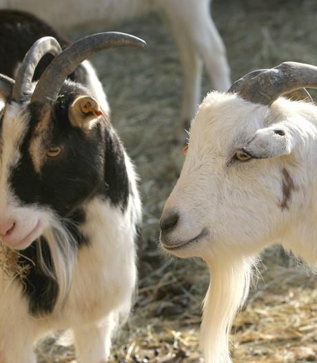 Definitief geen vergunning voor geiten op Muizenhol in Bakel