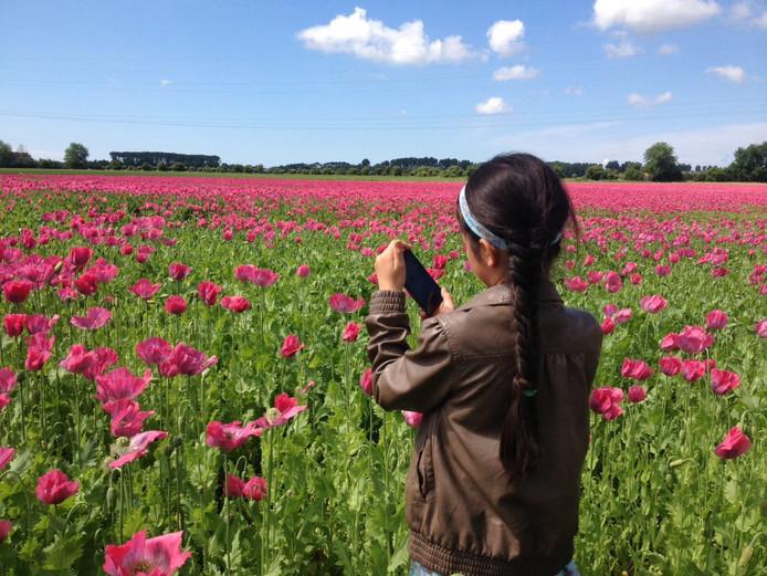 Aan de Oostweg in 's-Heer Arendskerke staat een veld met blauwmaanzaad in bloei.