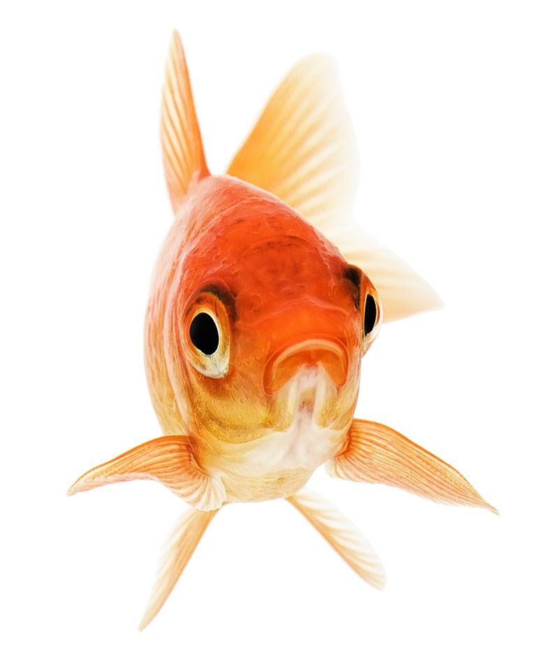 Wie wil zijn of haar goudvis zien schitteren?