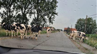 Uitgebroken koeien belemmeren verkeer tussen Woumen en Jonkershove