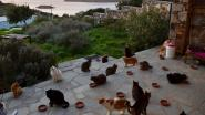 Droomjob voor kattenfans: word betaald om op 55 katten te passen op prachtig Grieks eiland