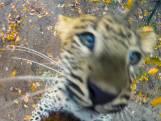 De panterwelpjes van Burgers' Zoo vermaken zich kostelijk