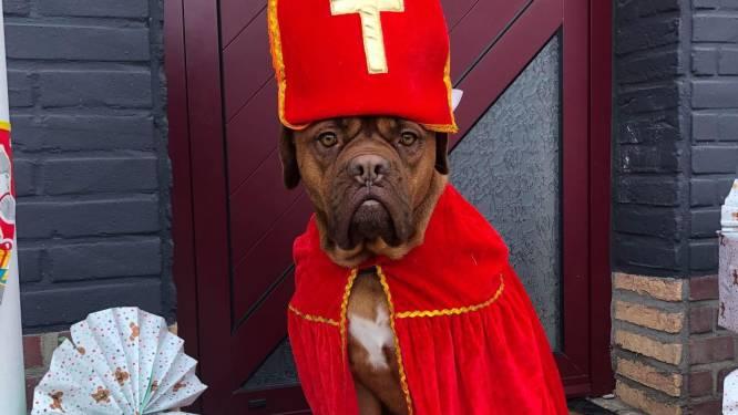 Sinterklaashond steelt de show in Putte