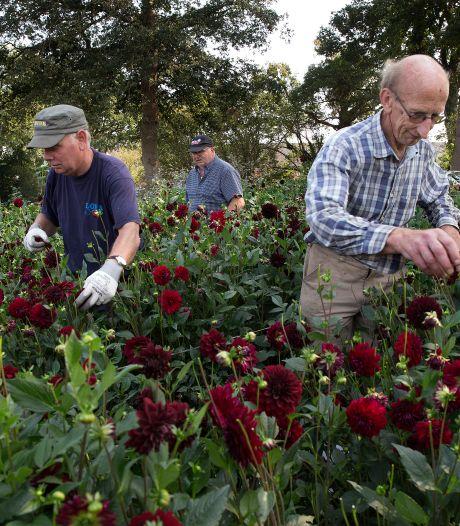 De laatste dahlia's van het seizoen gaan van het land; corsobouwers treuren