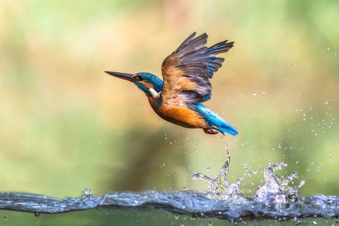 Deze vogel ziet de gemeente Molenlanden graag verschijnen in Nieuw-Lekkerland.