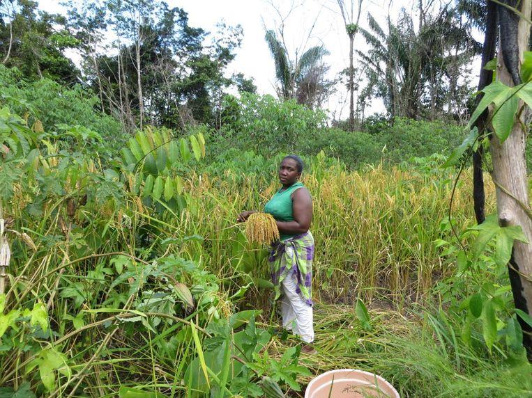Een vrouw oogst rijst in Suriname. Beeld T van Andel