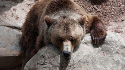 Enkel beer was ontsnapt uit Duitse zoo nabij Belgische grens, andere dieren zaten nog gewoon in dierentuin. Maar het gevaar is toch nog niet geweken