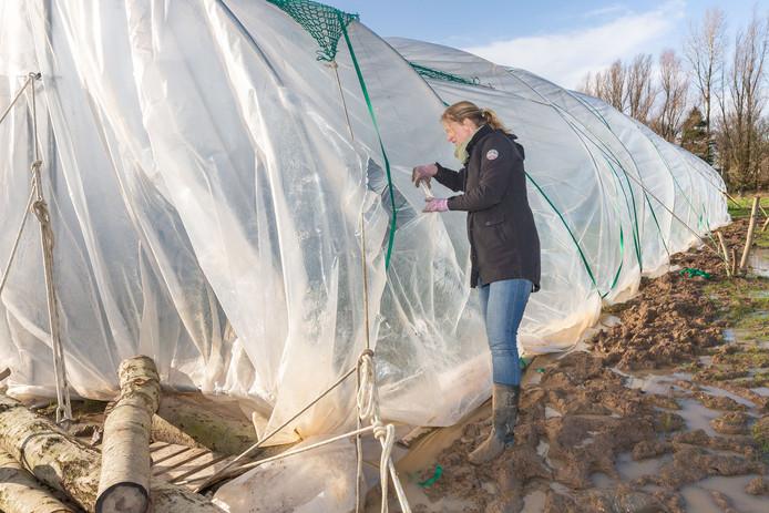 Met man en macht is de afgelopen week geprobeerd om de gloednieuwe tunnelkas op tuinderij De Spoolderberg tegen de weergoden te beschermen. Dat is gelukt, met spanbanden en touwen is alles bij elkaar gehouden.
