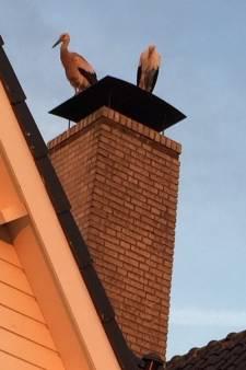 Opmerkelijk, veertien ooievaars op de daken in Molenvliet: 'Nog nooit meegemaakt!'