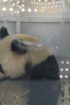 Nog een laatste glimp van de panda's vlak voor de vlucht