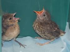 Vogel Revalidatiecentrum Zundert: Piepkuikens