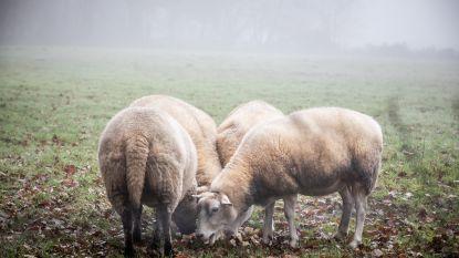 """Zes schapen aan Herenthoek doodgebeten: """"Bescherm vee tegen wolven met schrikdraad"""""""