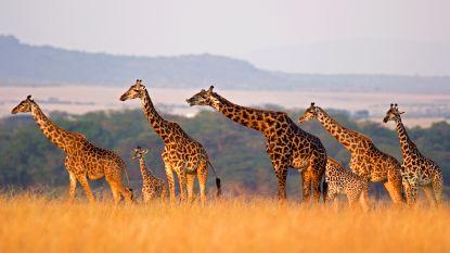 Kussens en bijbelhoezen uit giraffenhuid: legale en populaire markt in de VS