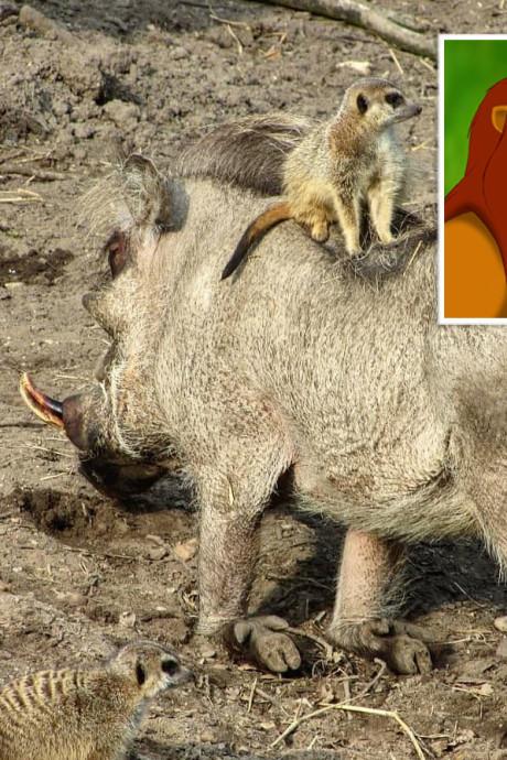 'Timon en Pumbaa' gespot in Ouwehands Dierenpark