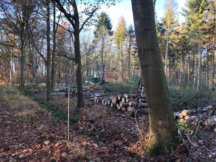 Gekapte fijnsparren bij natuurgebied de Pannenhoef nabij Etten-Leur