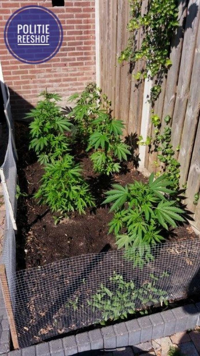 In een tuin stonden meerdere hennepplanten.