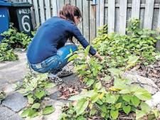 De Japanse duizendknoop verspreidt zich als een gek over Nederland