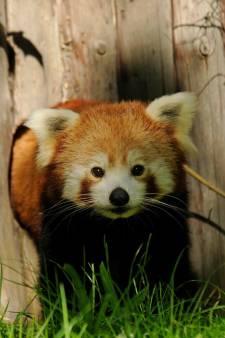 Kleine panda Raj Diergaarde Blijdorp overleden