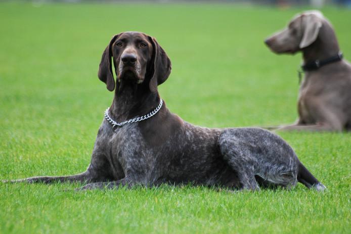 Een Duitse Staander, niet de hond uit het artikel.