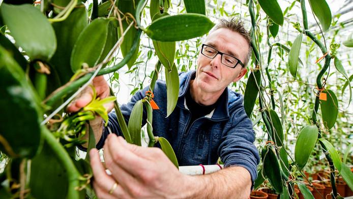 Onderzoeker Filip van Noort inspecteert de 'nedervanille.'