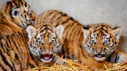 Drie schattige Siberische tijgerwelpjes geboren in Beekse Bergen