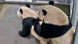 Reuzenpanda's paren in Nederlandse zoo