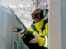 Aalscholver uit vuilniswagen gered