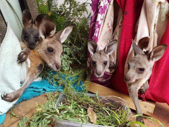 De stukjes textiel helpen koala's en kangoeroes in Australië.