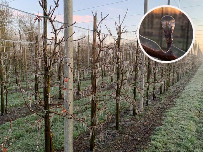 De bevroren boomgaard van Frans Rijk en zijn ouders.