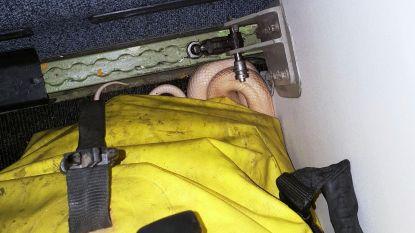 Man ontdekt na landing dat zijn slang ontsnapt is op vliegtuig. Maar dat is intussen weer vertrokken